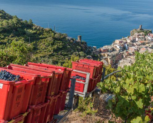 wine tours in Italy - grape harvest in Vernazza Cinque Terre