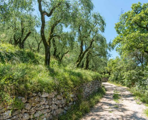 Italy, Veneto. Olive groves at the garda lake crossed by an ancient hiking path.
