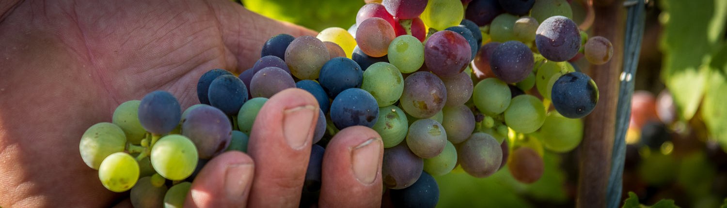 wine tours in Italy grapes in Lunigiana between Liguria and Tuscany