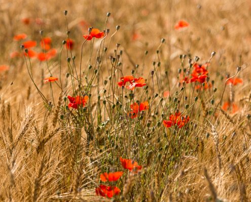Italy, Tuscany, cornfield with poppies near to Suvereto