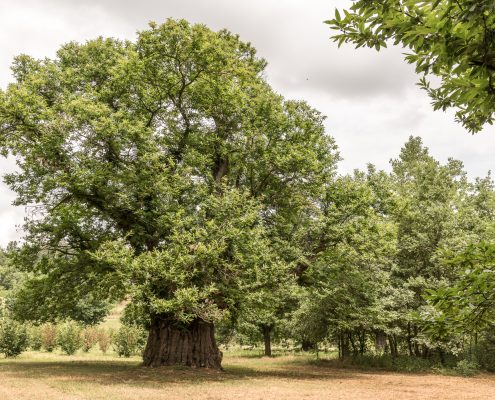 Italy, Piedmont, Roera area, the Castagna Granda, the biggest chestnut tree in Piedmont