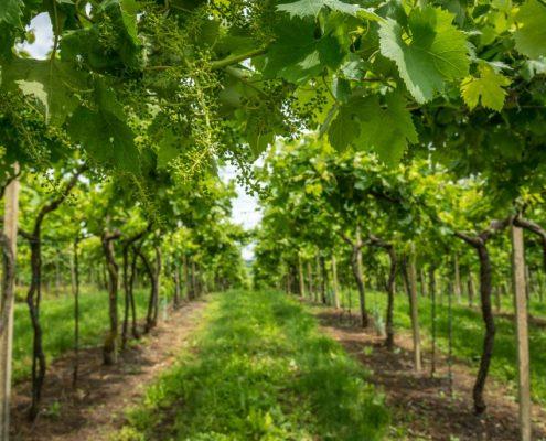 Vineyards visit in Valpolicella- Veneto- Italy