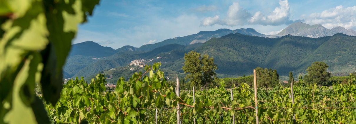 Vineyards in Lunigiana - Italy