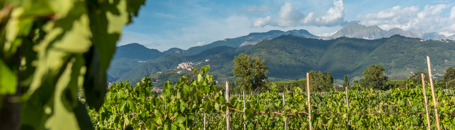Vineyards in Lunigiana - Italy