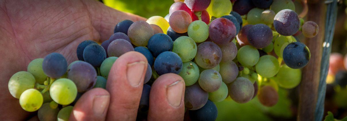 Grape harvesting in Lunigiana - Italy