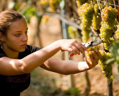 Grape harvesting in Albenga- Italy
